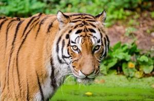 tiger-985649_640